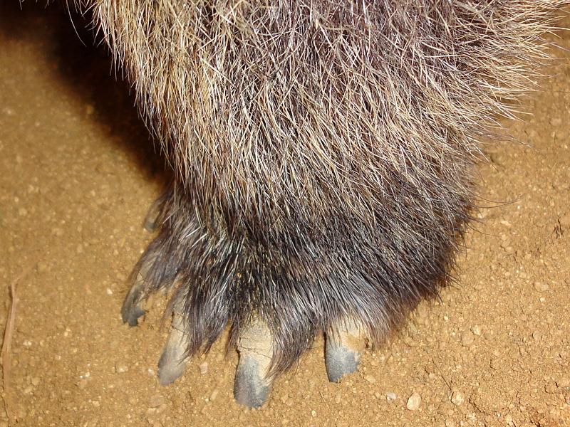 ウォンバットの爪