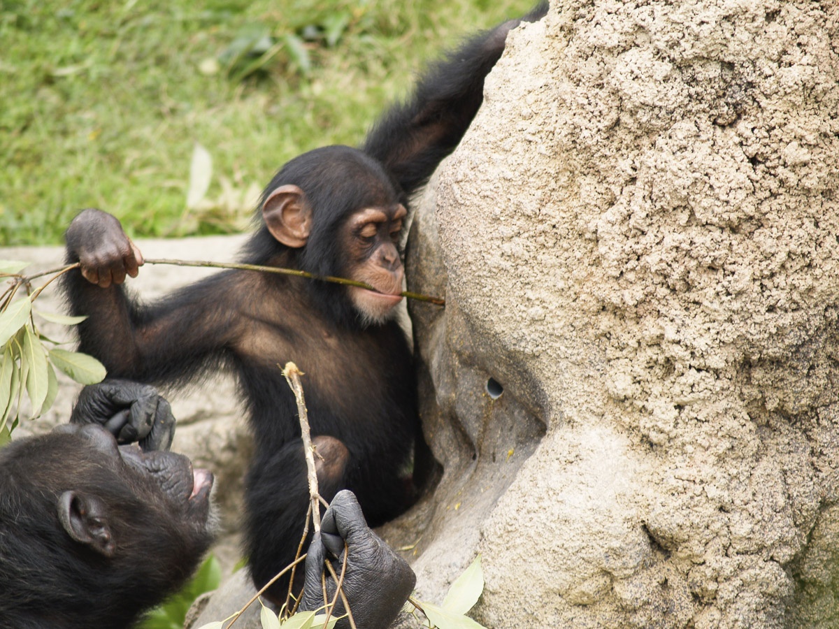 何かを作るチンパンジー