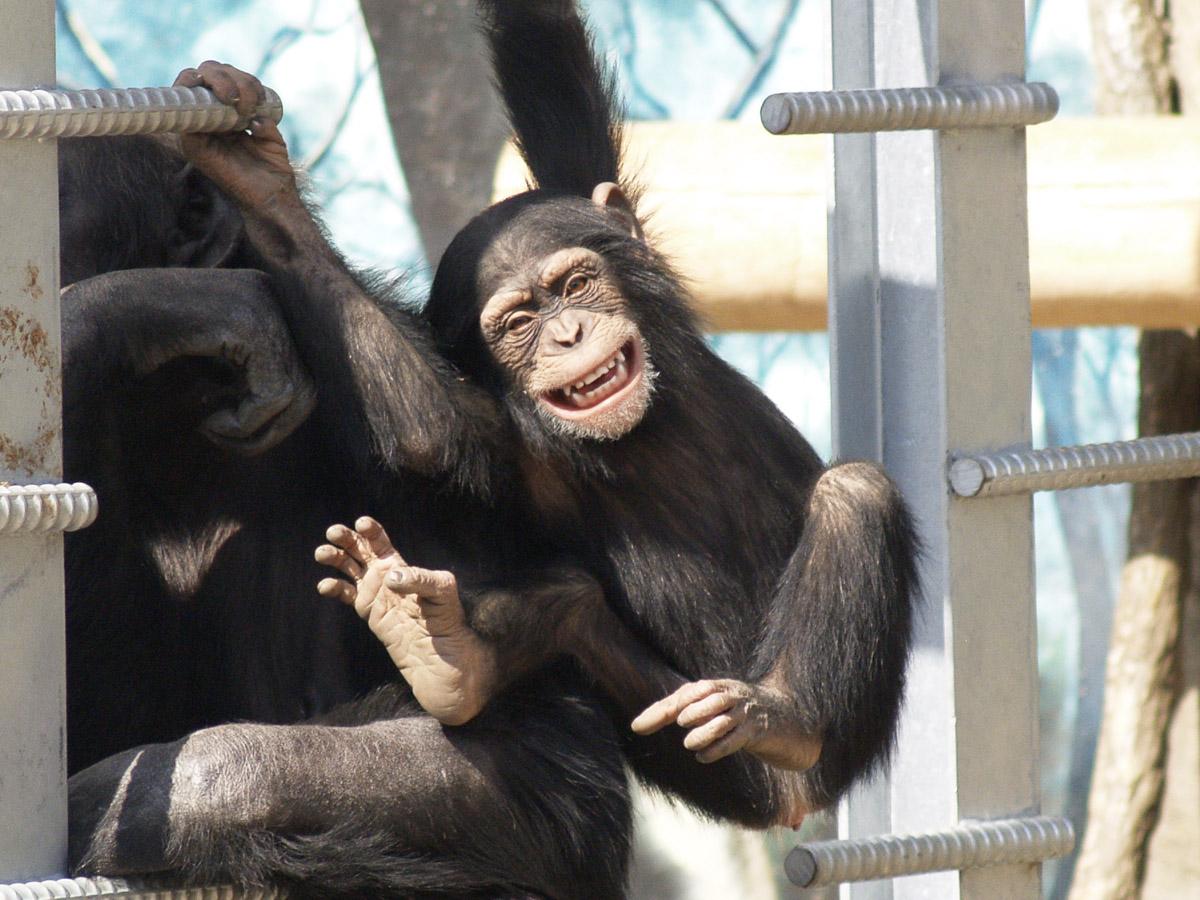 笑顔のチンパンジー