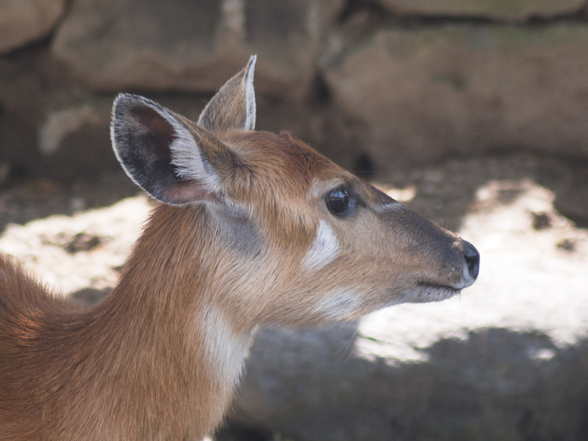 科 シタツンガ の 動物 は 何